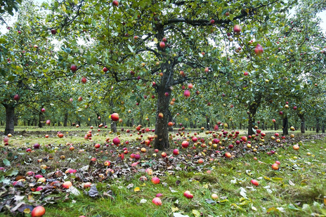 iconic apples falling from a tree photo