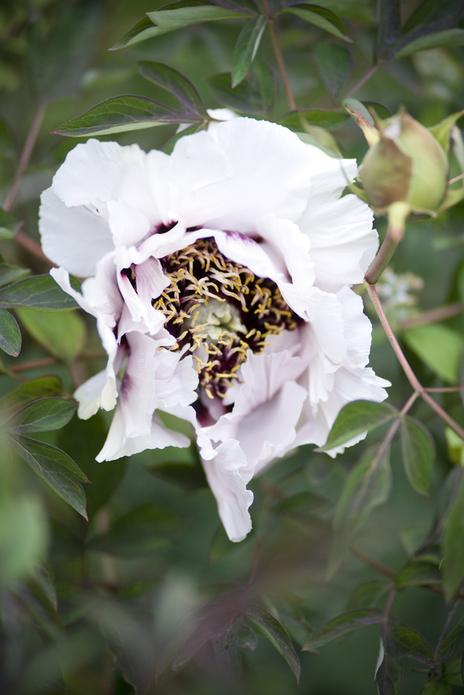 peony flower photo