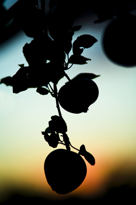 atmospheric sunset silhouette of apples hanging from a tree photo