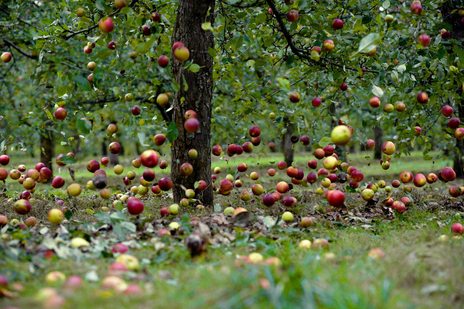apples falling from tree photo