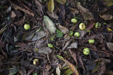 wild apples on floor photograph somerset