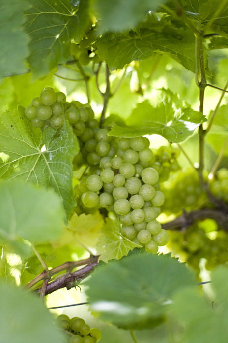 photo of grapes growing on a vine in Cornwall
