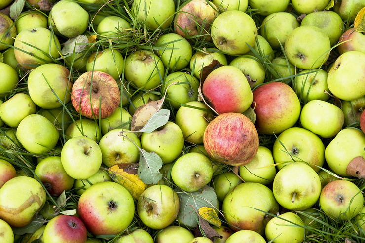 Cider APPLES on the ground