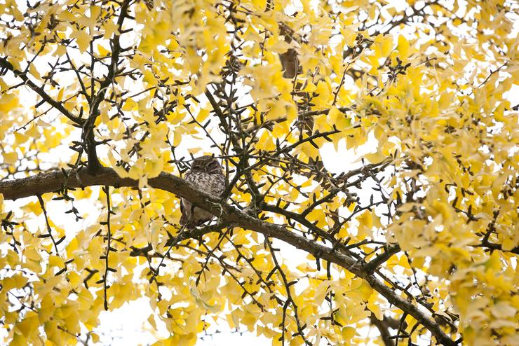 Ollie, a Lilttle Owl sitting in a Gikglo tree