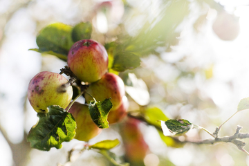 three cider apples growing on a tree photo
