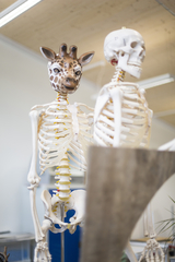 giraffe head on a skeleton